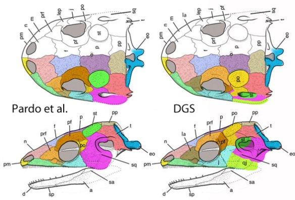 Figure 3. Chinlestegophis diagram. Drawings produced by Pardo et al. At left bones colored as they labeled them. At right same bone colors rearranged to fit the new interpretation. See figure 1.
