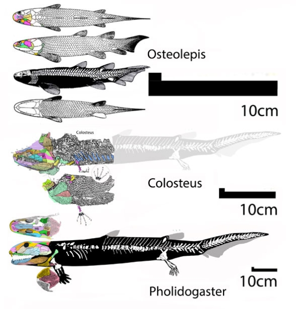 Figure 6. Colosteus relatives according to the LRT scaled to a common skull length. Their sizes actually vary quite a bit, as noted by the different scale bars. Only Pholidogaster and Colosteus are taxa in common with traditional colosteid lists.