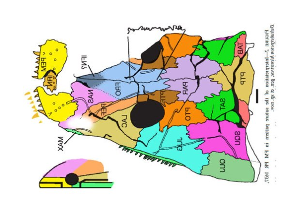 Figure 3. Drawing of Deltaherpeton sutures in Lombard and Bolt 2010 and colorized here. Note the lack of data around the naris (white glow).
