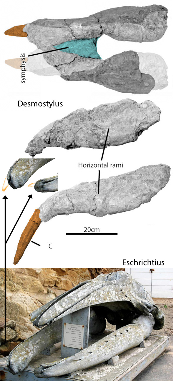 Figure 3. Old, toothless Desmostylus mandible with single downturned canine compared to the empty alveolus and mandibles of the gray whale (Eschrichtius).