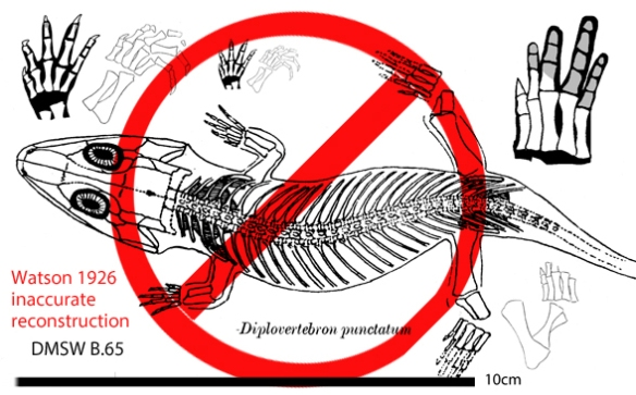 Figure 1. Diplovertebron from Watson 1926. He drew this freehand. In DGS the traits are different enough to nest this specimen elsewhere on the LRT. Beware freehand!