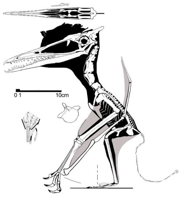 Figure 3. Germanodactylus rhamphastinus, No. 64 in the Wellnhofer 1970 catalog.