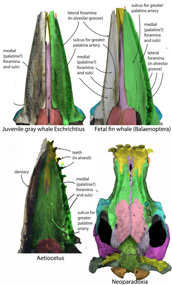 Figure 1. Palates of two baleen whales, one toothed whale and Neoparadoxia, a desmostylian. See text for details.