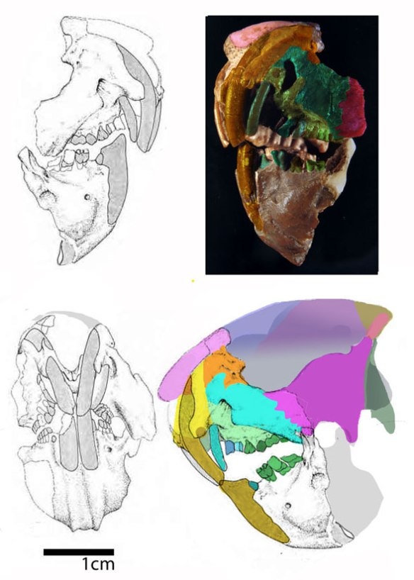Figure 1. Groeberia drawing, photo and color-coded bones and teeth. This taxon nests with Vintana in the LRT and that canine-ish tooth must be a premolar because canines are unknown in this clade going back several nodes.