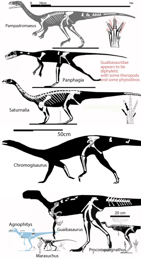 Figure 2. Taxa variously considered members of the Guaibasauridae. Here the top few nest with or closer to Sauropodomorpha. The bottom taxa nest with theropods in the LRT.