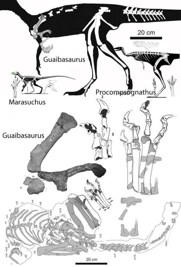 Figure 1. Tiny forelimbs with three sharp-clawed fingers indicate that Guaibasaurus is a theropod, not a sauropodomorph. Shown to scale with related theropods Marasuchus and Procompsognathus.
