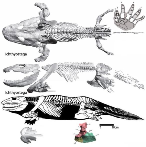 Figure 6. Not sure which is more correct, but this Ichthyostega data shows little to no wiggle room for the larger skull, more for the smaller skull.