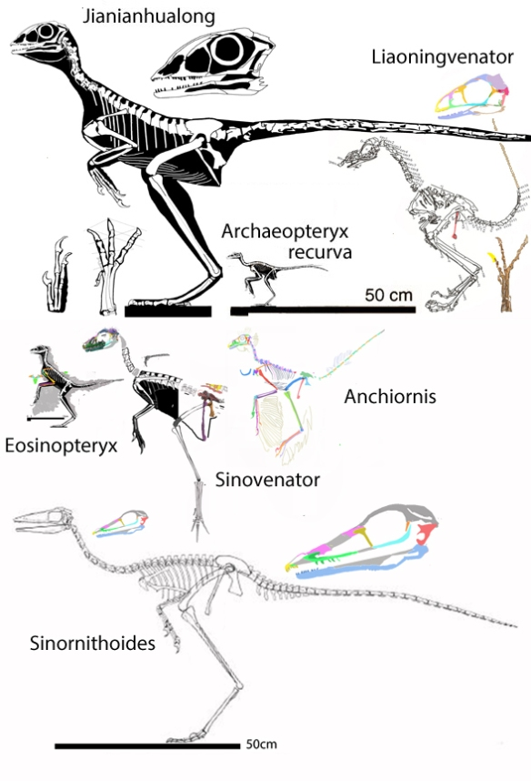 Figure 2. Troodontid-like birds and bird-like troodontids shown together to scale.