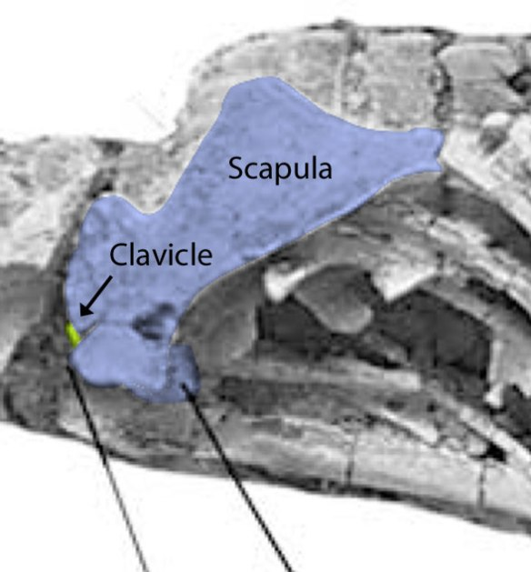 Figure 2. Junggarsuchus and its overlooked clavicle. Let's consider this provisional until confirmed.