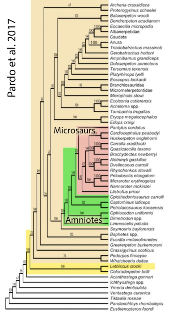 Figure 2. Pardo et al. cladogram nesting Lethiscus between vertebrates with fins and vertebrates with fingers. They also nest microsaurs as amniotes (reptiles). None of this is supported by the LRT.