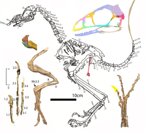 Figure 1. Liaoningvenator has a long neck and short torso. It nests as a secondarily flightless bird in the LRT, rather than as a troodontid.