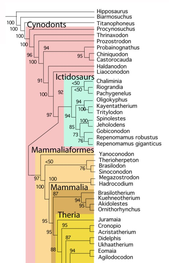 Figure 5. Basal Cynodont/Mammal cladogram focusing on the nesting of Brasilodon and Brasilitherium in the LRT.