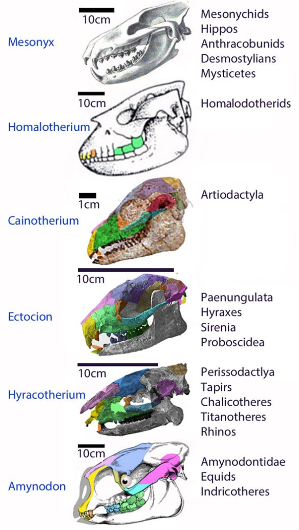 Figure 1. Skulls of taxa nesting at the bases of several mammal clades starting with mesonychids.