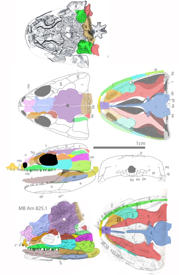 Figure 8. Skull of Microbrachis in several views. Here is where the postorbital leaves the orbit margin and drifts posteriorly. Compare to Chinlestegophis above.