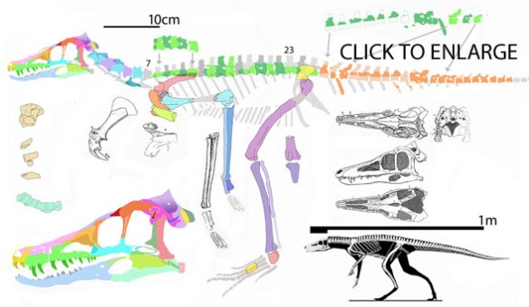 Figue 1. A new reconstruction of the basal bipedal croc, Pseudhesperosuchus based on fossil tracings. Some original drawings pepper this image. Note the interclavicle, missing in dinosaurs and the very small ilium, only wide enough for two sacrals. The posterior dorsals are deeper than the anterior ones.