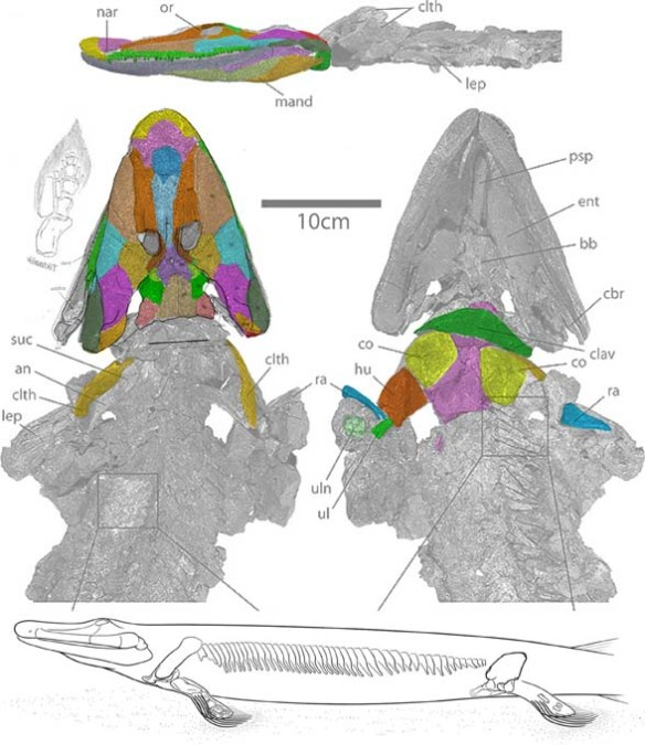 Figure 1. Tiktaalik had a neck, that small space between its skull and pectoral girdle not seen in more primitive taxa.