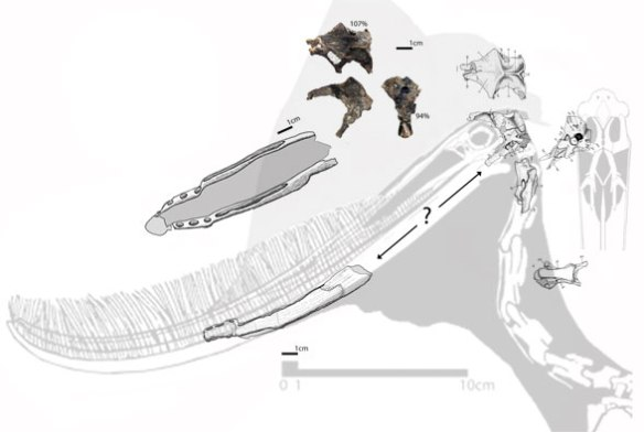 Figure 3. Reconstruction of Allkaruen atop a more complete Pterodaustro to the same scale demonstrating a close match-up of elements.