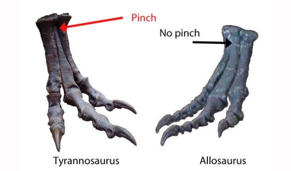 Figure 1. Arctometatarsals on T-rex vs. normal metatarsals on Allosaurus.