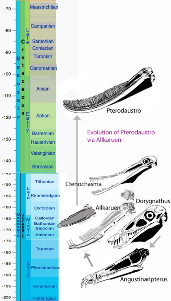 Figure 4. Chronological evolution of Pterodaustro via Allkaruen, Angustinaripterus (Early Jurassic) and Dorygnathus (late survivor in the Middle Jurassic).