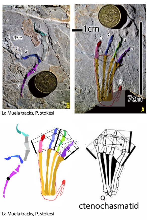 Figure 1. La Muela pterosaur manus and pes tracks, plus tracing and sister ichnotaxa among basalmost ctenochasmatids.