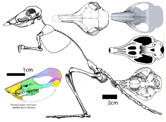 Figure 1. The skull of Proargyrolagus and an illustration of Argyrolagus. The traits shown here align very closely with Macropus, the kangaroo, to no one's surprise... so why was this considered an enigma taxon?