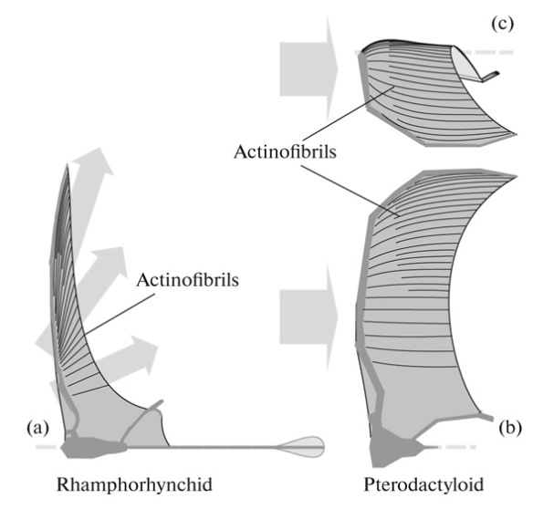 FIgure 1. pterosaur wing membranes according to Koroljov 2017 bear little resemblance to data preserved in fossils.