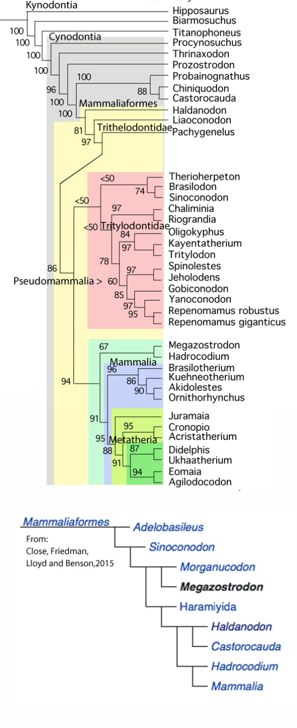 Figure 2. The origin and radiation of stem mammals and crown mammals. Compare the LRT tree (above) to a recent cladogram by Close et al. 2015.