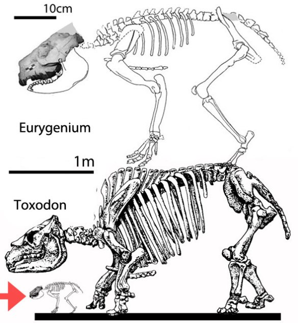 Figure 3. Toxodon and the much smaller Eurygenium to scale.