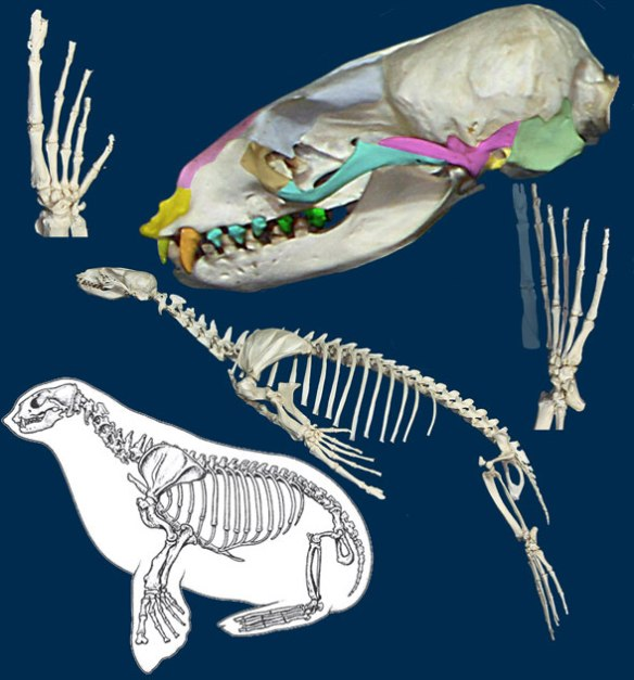 Figure 3. Zalophus, an otariid seal, is most closely related to Hyoposodus among tested taxa in the LRT