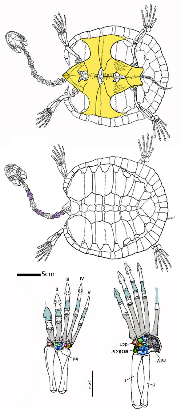Figure 2. Araripemys overall in dorsal and ventral views, plus manus and pes from Meylan 1996.