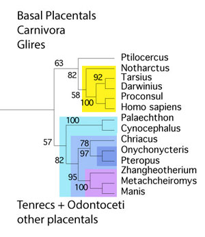 Figure 1. Bat cladogram. Here pangolins are the nearest living relatives of bats.