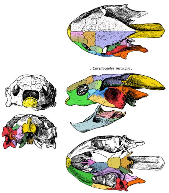 Figure 4. The skull of Carettochelys in 5 views. This skull shares some traits with Trionyx, but more with Foxemys.