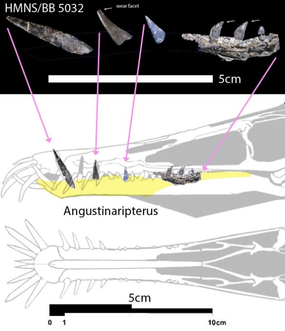 The HMNS BB 5032 specimen(s) probably belong to a new species of Angustinaripterus or its kin based on the relatively large posterior teeth not seen among most Dorygnathus specimens.