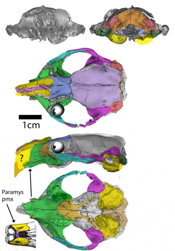 Figure 2. The skull of Ignacius nests with other rodents, not plesiadapiformes.