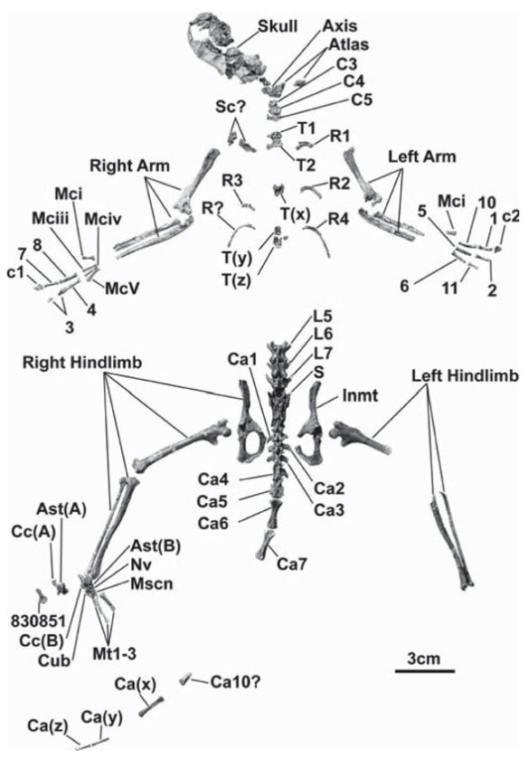 Figure 3. Ignacius clarkforkensis known parts.
