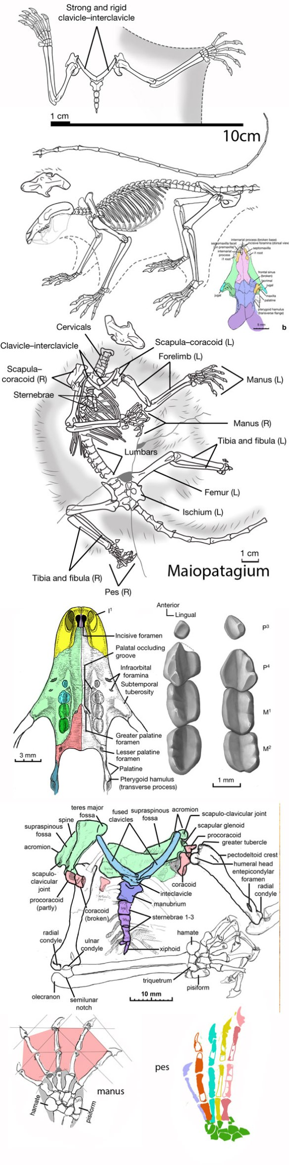 Figure 2. Maiopatagium imagery from Meng et al. 2017, plus reconstruction of the extended manus and pes and some bones colorized.