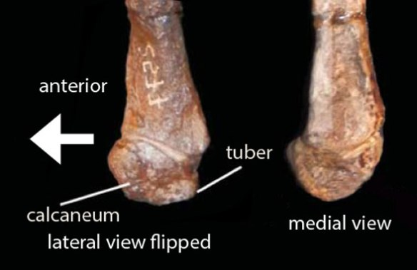 Figure 8. Calcaneum of Pisanosaurus. You can see why some authors saw a tuber while others did not.