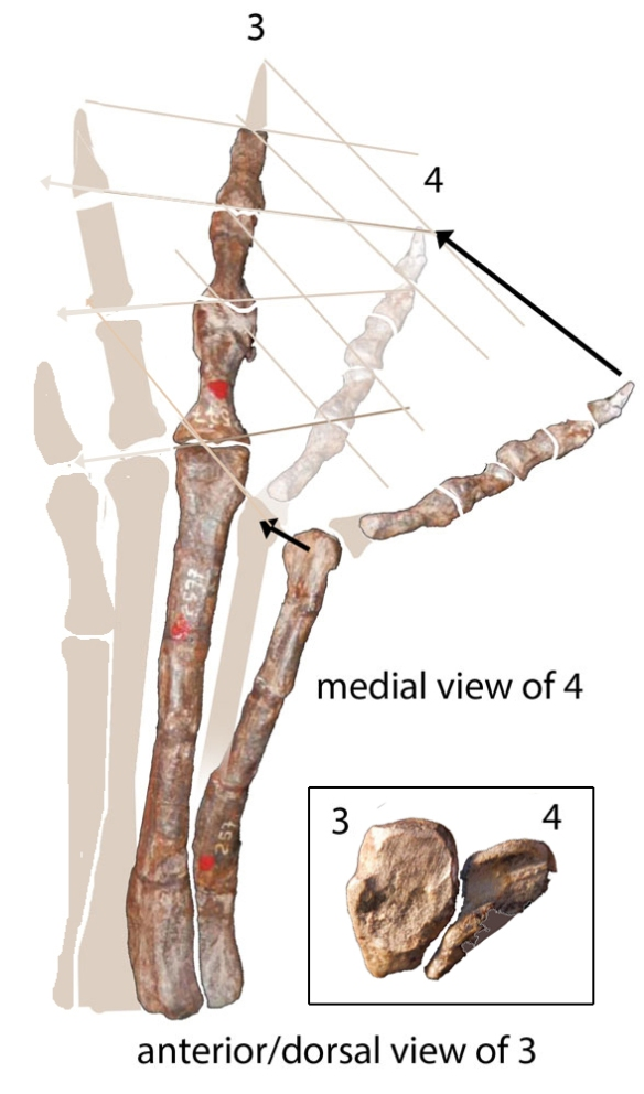 Figure 6. Pisanosaurus right pes with digit 2 ghosted in and digit 4 rotated into in vivo position. PILS added. Nnte the brevity of the toes compared to the metatarsus, a trait shared with Haya.