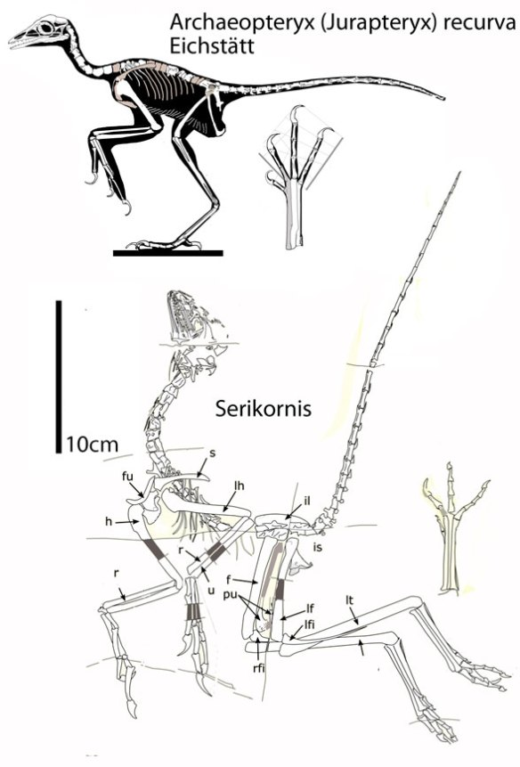 Figure 1. Serikornis and Jurapteryx (Archaeopteryx) recurva to scale. These two nest as sisters in the LRT.