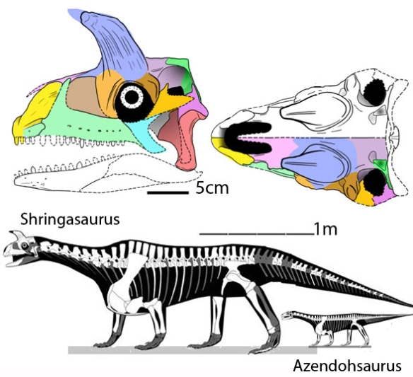 Figure 1. Shringasaurus to scale with Azendohsaurus. Line art modified from Sengupta et al. Color added here. Note the anterior lappet of the maxilla over the premaxilla. The supratemporal  (dark green) remains.