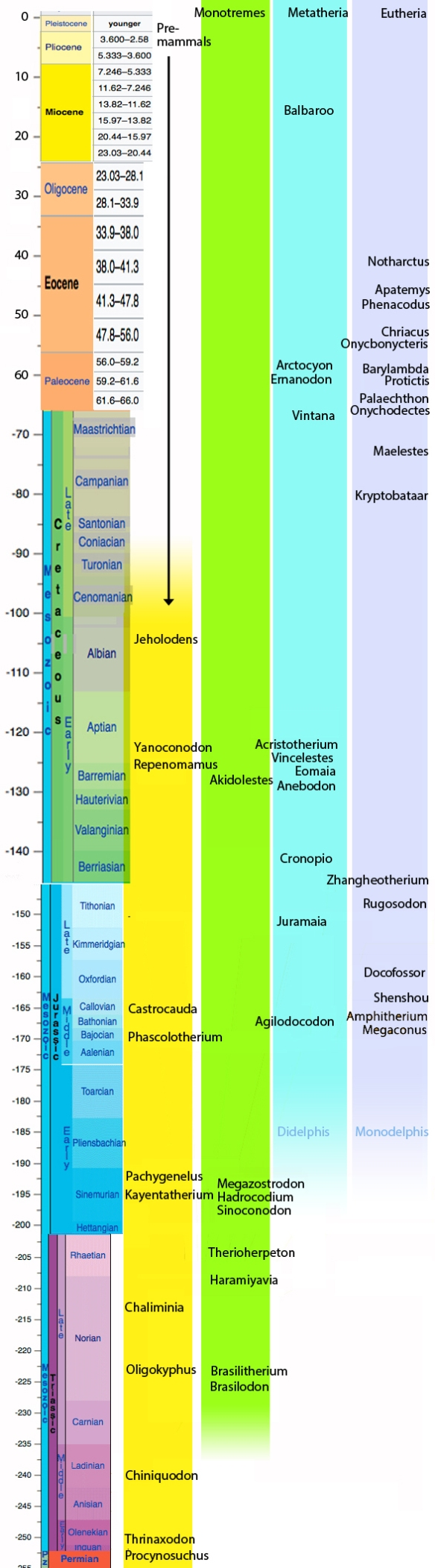 Figure 2. Select basal cynodonts and mammals set chronologically. The divergence times for placentals (Eutheria), marsupials (Metatheria) and monotremes (Mammalia) are estimated here.