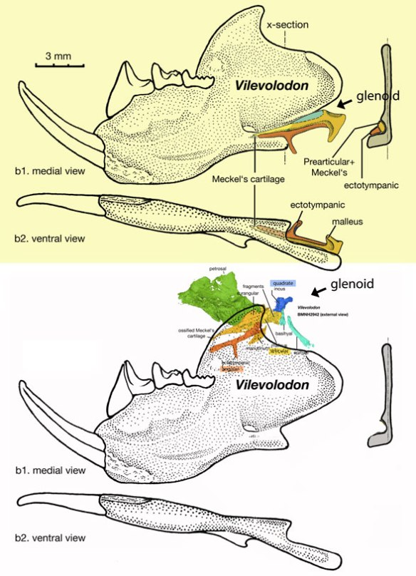 Figure 3. There is no doubt that Vilevolodon has pre-mammal type post-dentary bones. There is also no doubt that the dentary formed the main jaw joint with the squamosal. How does one reconcile both sets of traits? In the LRT Vilevolodon nests with rodents. This appears to be a mammal with an atavism, a reversal. These elements simply stopped developing as in other mammals.