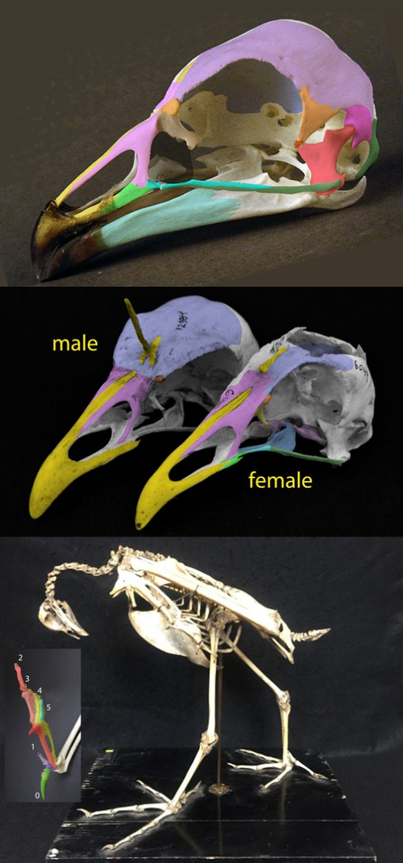 Fig. 1. Anhima skeleton and skull.
