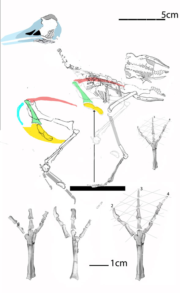 Figure 3. Apsaravis reconstructed from original drawings in Norell and Clarke 2001.