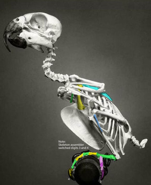 Figure 3. Skeleton of Ara macao, the scarlet macaw. Note the skeleton has pedal digits 3 and 4 switched.