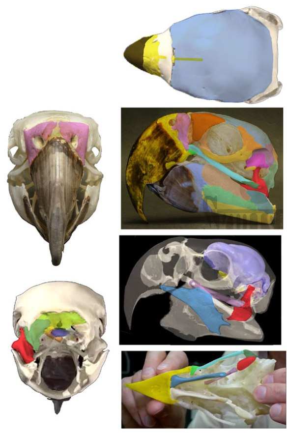 Figure 4. Skull of Ara macao with bones colored.