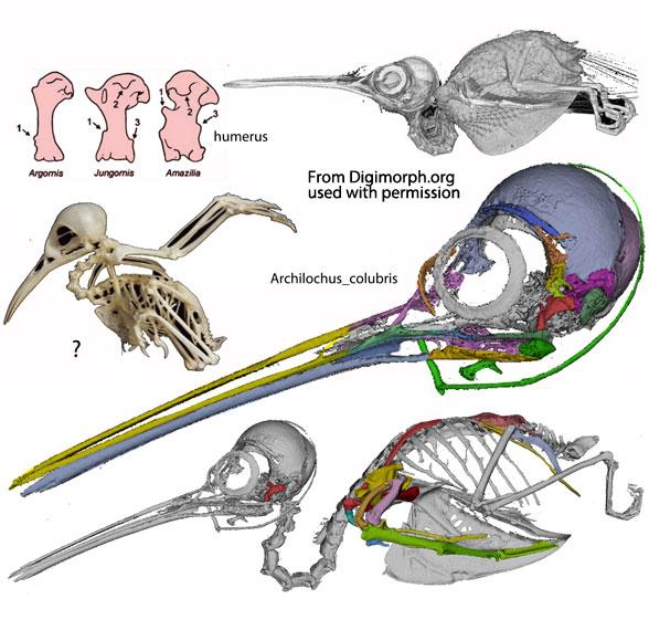 Figure 3. Ruby-throated hummingbird (Archilochus) skeleton.