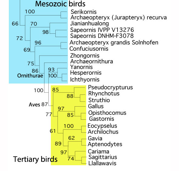 Figure 1. Extant birds and their kin. Hummingbirds and their kin and penguins and their kin have been added using the same list of 230 or so characters that have served to nest reptiles, including mammals.