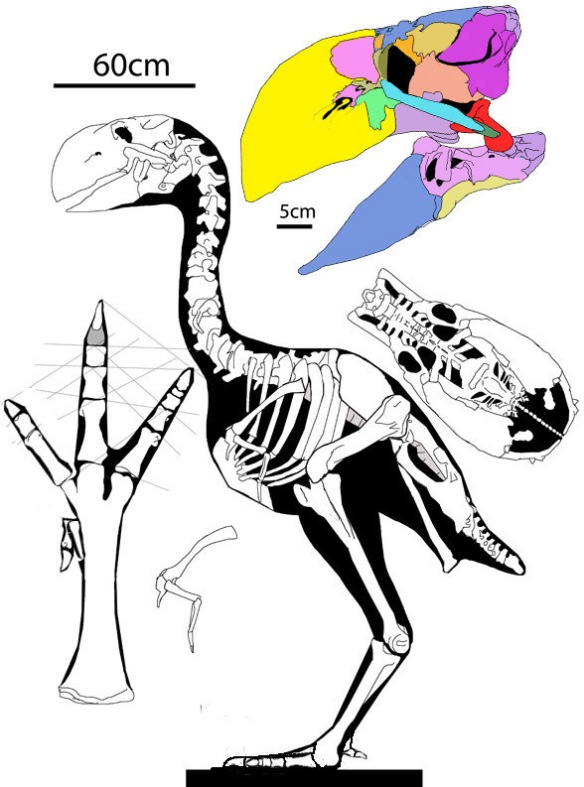 Figure 1. Gastornis turns out to be a giant parrot sister in the chicken clade in the LRT.