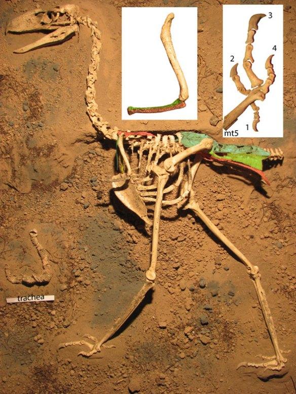 Figure 2. Llallawavis skeleton, one of the most complete phorusrhacids known